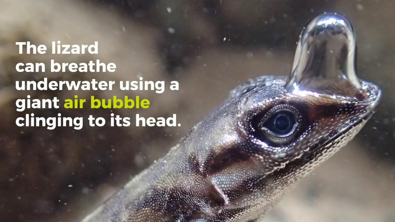 An air pocket of air allows a few reptiles to inhale submerged