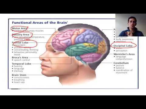 localisation of function Localization of brain function studies of stroke and other brain-damaged patients have shown a localization of brain function that is, particular brain areas are dedicated to particular behaviours.