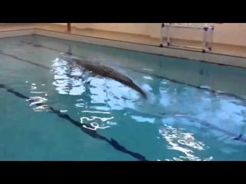 Crocodile In Public Swimming Pool Youtube