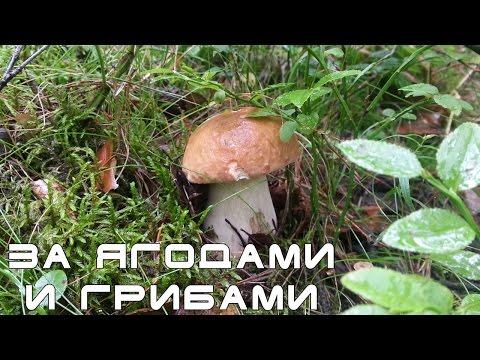 Поход в лес. Черника и сбор грибов. Ленинградская область. Мурманское направление.