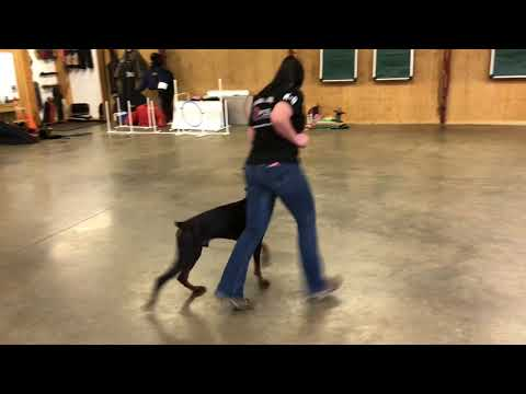 Falcon von Prufenpuden 15 Month Doberman Super Dog BAB Participant
