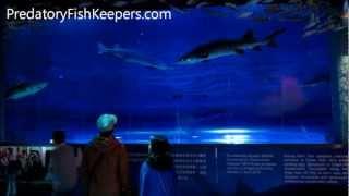 Chinese Sturgeon Acipenser sinensis 中华鲟 Aquarium at Ocean Park Hong Kong