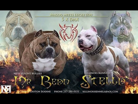 Muscletone Bullys Mr.Bean  American Bully Pups For Sale From Killinois Kennels