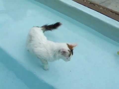 Purring Turkish Van kitten in pool - YouTube