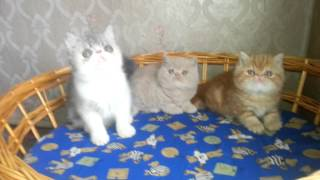 Питомник кошек Ля Рошель (Рошен) персов и экзотов (18)