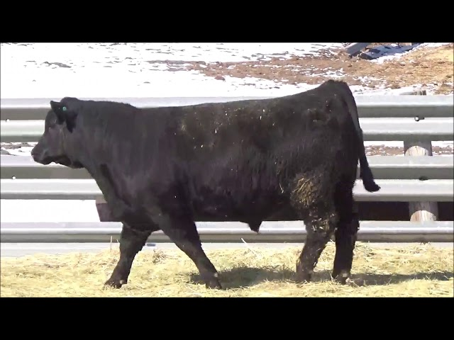 Connealy Angus Lot 71