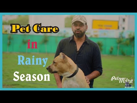 Pet Care |  rainy season tips for your dog