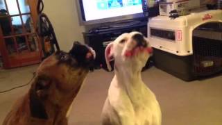 Boxers Howling