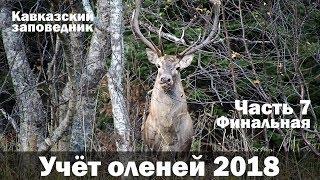 Олень крупно в лесу! Тхачи с воздуха. Учёт оленей 2018. Часть 7.