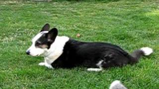Zoey Jumps Over Riley--two Cardigan Welsh Corgi Dogs