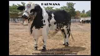 Shah Cattle Farm & Surmawala Cattle Farm 2012 Video