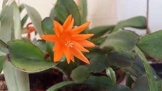 Цветущие кактусы и суккуленты 😊Часть 1