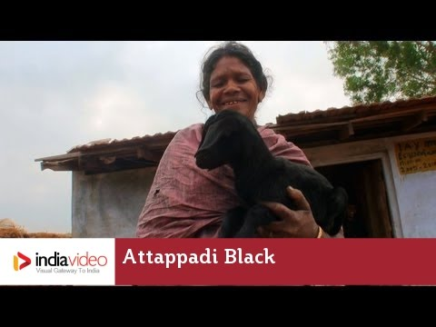 Attappadi Black - a Goat Breed