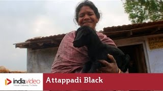 Attappadi Black - a Goat Variety in Kerala | India Video
