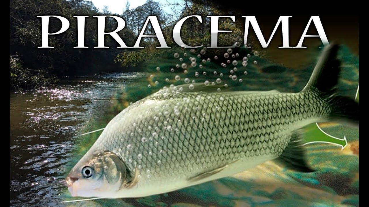 Piracema, o Fenômeno de Reprodução dos Peixes - YouTube