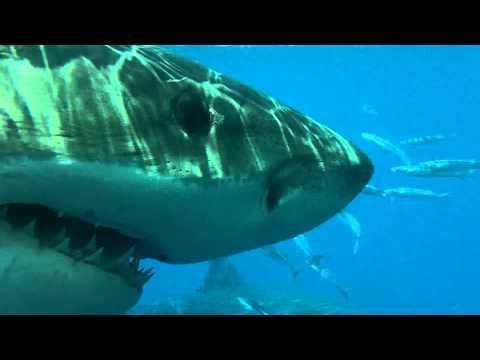 2 Great White Sharks visit cage off Guadalupe Island Mexico.