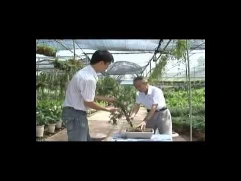 Kỹ thuật trồng và chăm sóc cây cảnh P3/4 * Kỹ thuật Bonsai cây cảnh - bonsai styling techniques