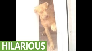 Dog can't figure out glass door, tries to che...