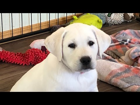 Yellow Labrador Puppies 8 Weeks Old!