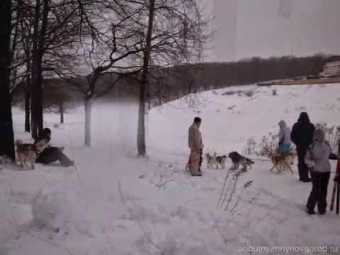 Фото с катания на собаках хаски