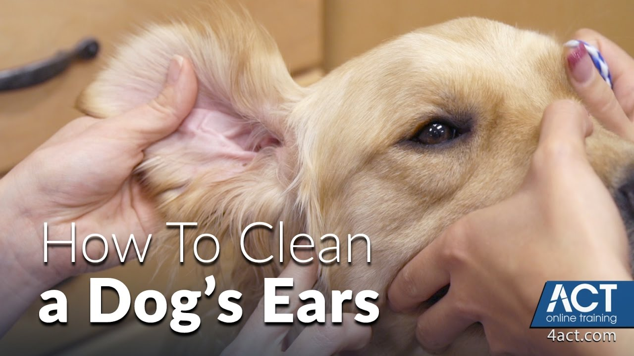 Cleaning A Dog\'s Ears - Veterinary Training - YouTube
