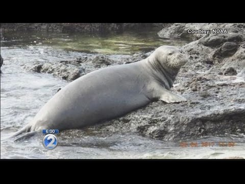 Mourning the death of Hawaiian monk seal that got entangled in a fishing net
