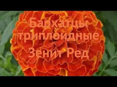 Бархатцы триплоидный Ред 🌿 триплоидный бархатцы Ред обзор: как сажать, семена бархатцев Ред
