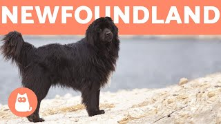 NEWFOUNDLAND DOG  Profile of a Hero Breed