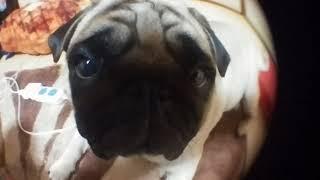 パグ犬ムゥを今日は100均にあった魚眼レンズで撮影してみました。顔が黒...