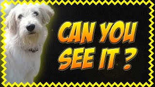 Golden Retriever Poodle Mixes Are Funny Animals. B Compilation No.57 2014 Vs