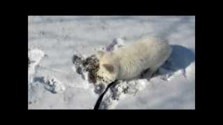 2.2 - Driving Back Home - 11 Febr. 2012 - Beethoven - White German Shepherd Dog