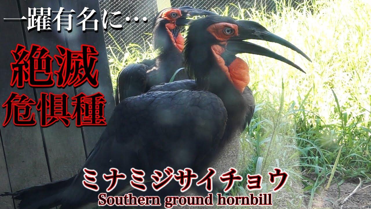 【サイチョウ】ミナミジサイチョウの生態〜日本で捕獲された事に驚きました、ミナミジサイチョウは絶滅危惧種の動物(鳥)です〜