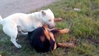 Собаки играются..