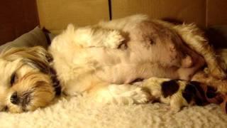 Shih Tzu Puppy Being Born 10/6/2011 *graphic*