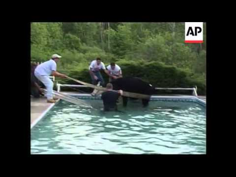 Cow strays into swimming pool