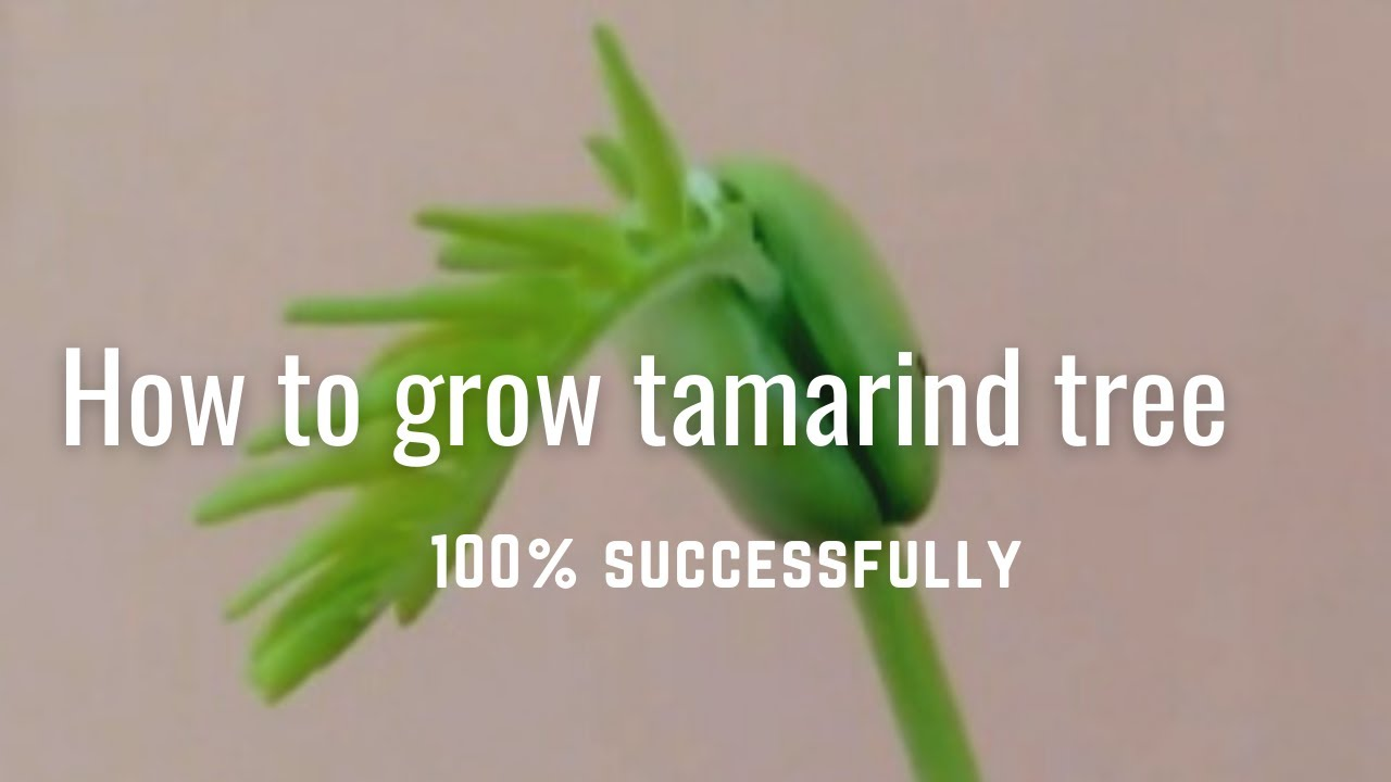 Download How to grow tamarind tree 100% successfully