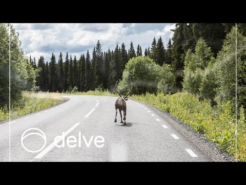 Reindeer running on the street, blocking trafic. Norway Roadtrip 2015