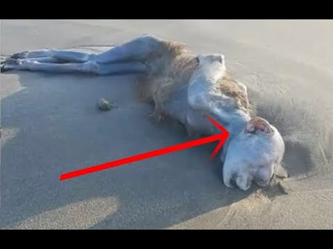 Strange creature found on a beach in Japan (August 2017 ...