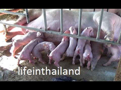 Baby pigs being born in rural Thailand. - YouTube