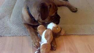 Bullmastiff X Dogue De Bordeaux
