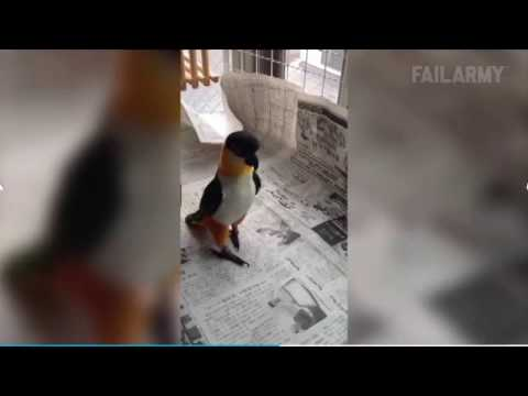 Jumping parrot fight