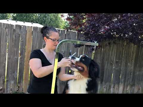 Dog Grooming: Trim your Berner Puppy Fro (fuzzy ear hair) for the first time.