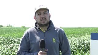 Пет сорта високодобивна пшеница на SAATEN UNION