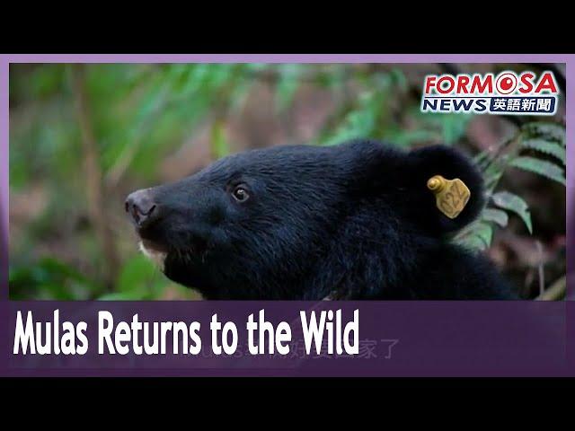 Documentary tells story of Mulas the rescued Formosan black bear cub