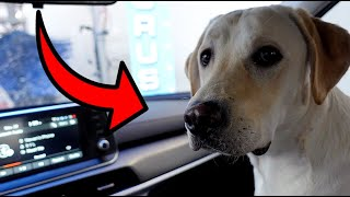 Labrador Goes Through Car Wash For First Time!!