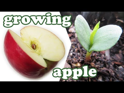 How To Grow An Apple Tree From Seeds - Growing Apples Fruits