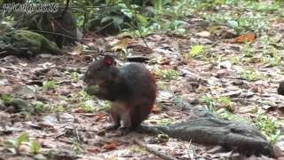 Агути / Central American agouti