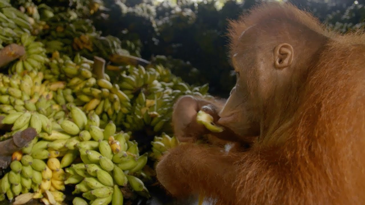 Beni's Love Affair with his Beloved Bananas - YouTube