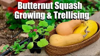 Butternut Squash Growing Tips and 4 Ways to Trellis It