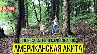 Американская Акита   6 месяцев   Прогулка с собакой в лесу   Акита ину